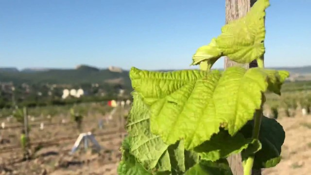 Выращивание фундука Трапезунд, агротехника.Young hazelnut orchard in Crimea ч.1